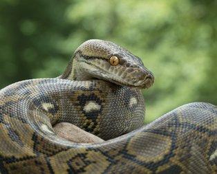 Rüyada yılan görmek ne anlama gelir? Rüyada yılan görmek ve öldürmek hangi anlamları taşır?