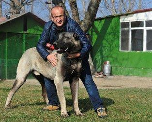 Otomobil fiyatına Kangal köpeği