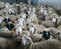 Türkiye'de bir ilk! 150 bin hayvanın...