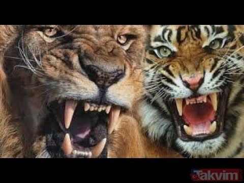 Aslan ve kaplanın (kavgası) karşılaşması hayrete düşürdü! Sonu ise şoke etti