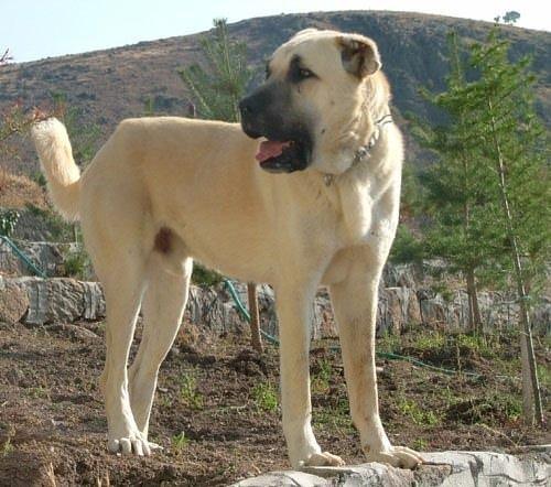 Türkiye'deki köpek ırkları ve özellikleri