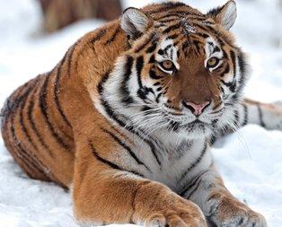 16 Şubat 20.30 Hadi ipucu sorusu: Büyük kedilerin en büyüğü hangisidir?