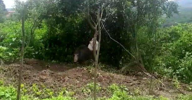 Çitin tellerine takılan domuz kurtarıldı