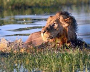 Ormanlar kralı aslan bile onu görünce korkuya kapıldı!