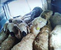 133 koyun çalan 4 hırsız yakalandı