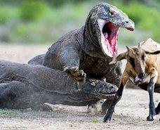 Komodo Ejderinin korkunç av yöntemi