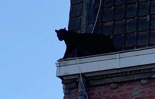 Böylesi sadece filmlerde olur derken... Şehrin göbeğinde çatıda gezen panter...