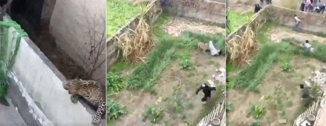 Vahşi leopar kaçtı mahalle arasına karıştı! Bir anda...