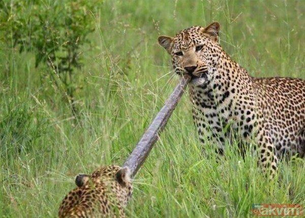 Vahşi doğada kartalın kurt avı izleyenleri şoke etti