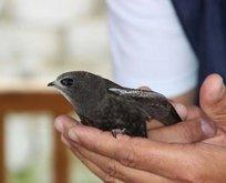 Kuranda ismi geçen kuş Erzurumda bulundu