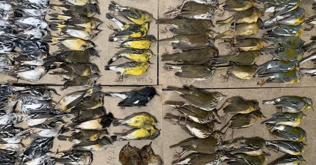New York'ta yüzlerce kuş gökdelenlere çarparak öldü