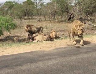 Doğanın vahşi yüzü! Safaride gördükleri manzara karşısında hayatlarının şokunu yaşadılar