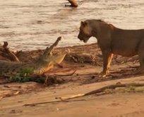 Vahşi doğada inanılmaz karşılaşma!