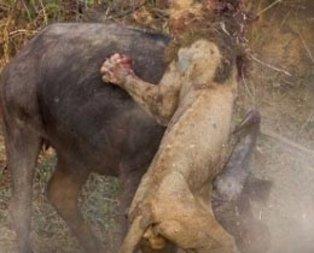 Talihsiz aslan ava giderken av oldu! Aslanın etrafını saran bufalolar...