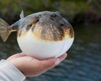 Balon balığı siyanürden bin 200 kat daha tehlikeli!