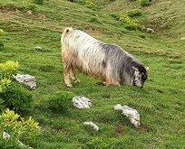 Kurbanlık keçi bayramdan sonra bulundu