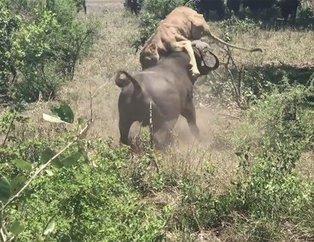 Vahşi doğada kan donduran ölümcül karşılaşma! Aslan hayatının şokunu yaşadı
