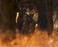 Nadir görülen kızıl geyikler Bursa'da görüntülendi
