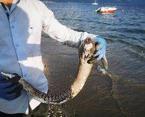Sahile vuran müren balığı vatandaşları şaşırttı