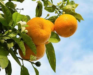 Tansiyon ilacı mandalina