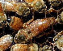 Arıların tanesini 100 liradan satıyor! Çok sayıda...