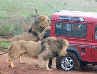 Vahşi doğada tehlikeli yakınlaşma