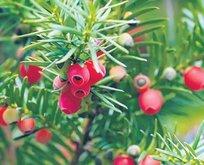 Kanserin ilacı porsuk ağacı