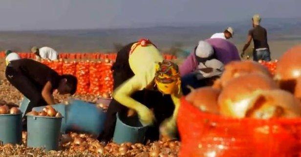 Soğan tarlalarında aşı mesaisi