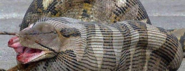 Dev piton 2 metrelik timsahı yutamayınca bakın ne oldu