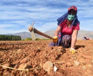 """Tunceli'de coğrafi işaret alan """"dağ sarımsağı"""" artık tarlada yetiştirilecek ve bölge halkına istihdam sağlayacak"""