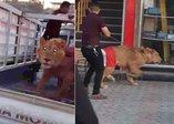 Dünya bu görüntüyü konuşuyor! Polisin köpeğine karşı aslan!