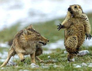 Öfkeli dağ sıçanının tilkiyi azarladığı bu anlar olay oldu! Nereye kaçacağını şaşırdı...