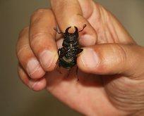 Geyik böceği o kentte de ortaya çıktı! Japonlar 150 bin dolar veriyor