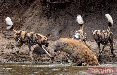 Vahşi doğada acımasız karşılaşmalar!