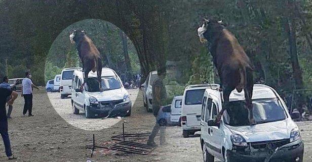 Samsun'da kaçan boğa çılgına döndü