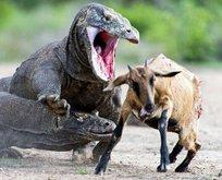 Vahşi doğada nefes kesen anlar!