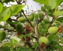 Çağla meyvesinin faydaları! Bakın çağla hangi hastalıklara iyi geliyor?