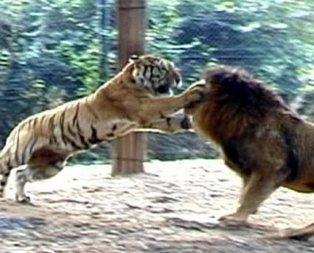 Vahşi doğada görülmemiş olay! Aslan ve kaplanın kavgası...