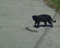 Yılan-kedi karşı karşıya! Sizce kim kazandı?