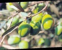 Milas zeytinyağı korumaya alındı