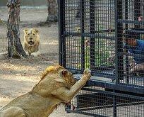 Telli kamyonetle aslan safarisine tepki