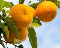 Seferihisar mandalinasına tescil