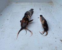 Endonezya'dan akvaryum içinde geldiler! Karada yürüyebiliyorlar