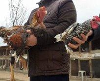 Dünyanın en büyük tavukları görenleri şaşırtıyor