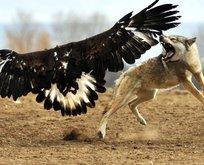 Kartalın kurt avı görenleri adeta şoke etti!
