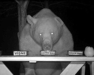 Trabzon'da ayıların bal testi izleyenleri şaşkına çevirdi