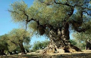 Şaşırtan olay! 1500 yıllık zeytin ağacı meyve verdi
