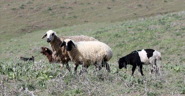 Koyun ve keçi yetiştiricilerine hangi destek veriliyor?