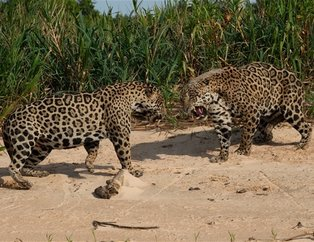 İki jaguarın kanlı mücadelesi sosyal medyada çok konuşuldu (Vahşi yaşam fotoğrafları)