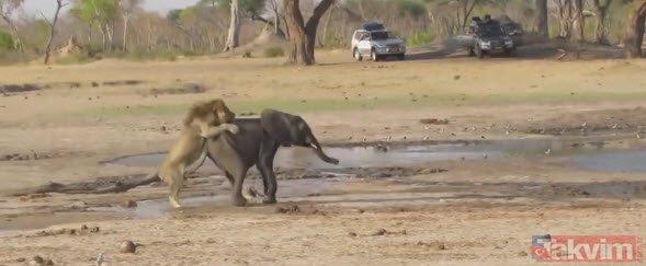 Aslanların hedefi bu kez yavru fil oldu! Zavallı filin son anları...